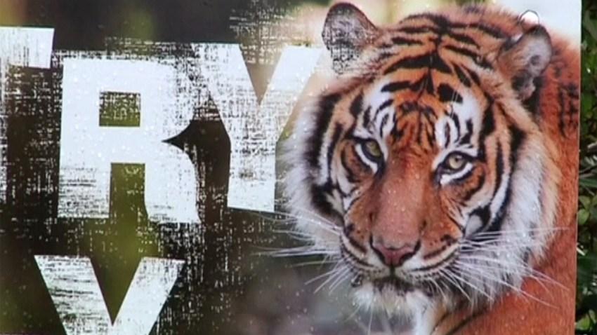 tigre-zoo-nueva-zelanda