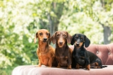 tlmd-dachshund-perro-ideal-apartamento