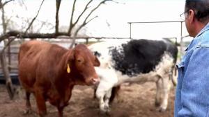 Consecuencias de comprar ganado sin su debido registro