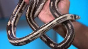 Serpiente rey de california