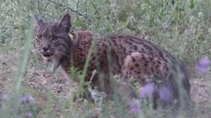 Cataluña: capturan a lince ibérico en peligro de extinción