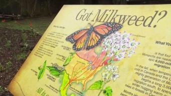 Buscan la protección de la mariposa monarca