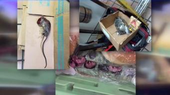 Investigan presunta plaga de ratas en restaurante