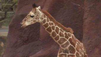 Nueva girafa en el zoológico de Brownsville