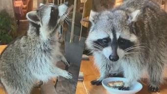 ¡Como ladrón en la noche! Mapache se mete en restaurante y se come las galletas