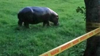 Autoridades cortan el viaje de Tyson, el hipopótamo