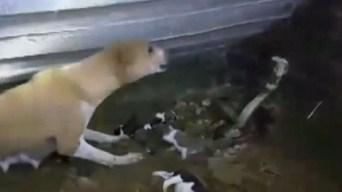 Se enfrenta a una cobra para salvar a sus cachorros