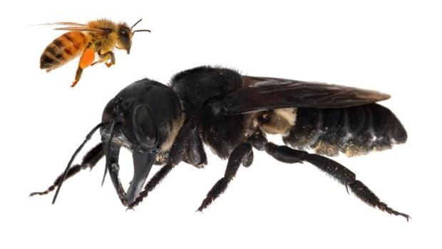 Hallan la abeja más grande del mundo