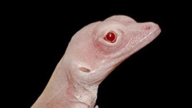 El increíble proceso de manipulación genética con una lagartija