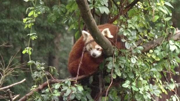 Osito panda escapa de un zoo en California