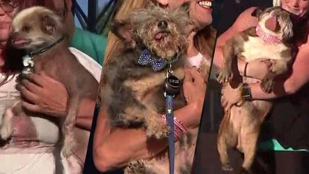 La perra más fea del mundo; su defecto la hizo ganadora del gran premio