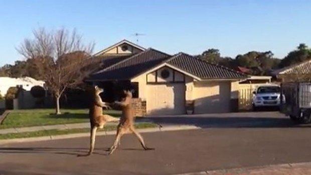 Video: Brutal pelea de canguros en plena calle