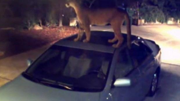 Video: Puma despierta terror en vecinos