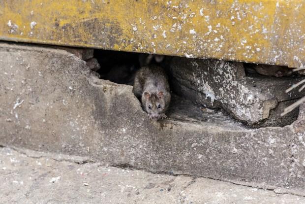 Las 20 ciudades donde las ratas causan más quejas y sustos