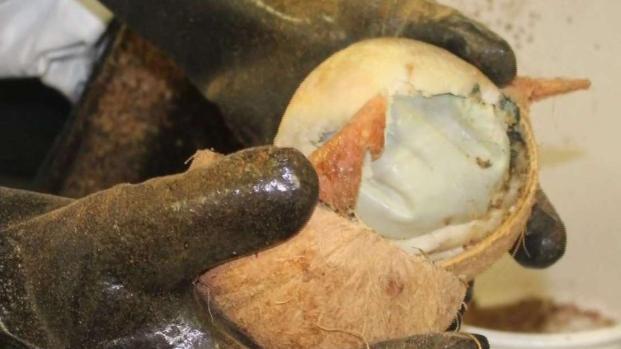 [TLMD - McAllen] Decomisan droga escondida en cocos