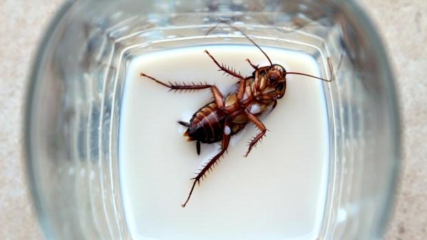 [TLMD - Bahia] Científicos estudian los beneficios de la leche de cucaracha