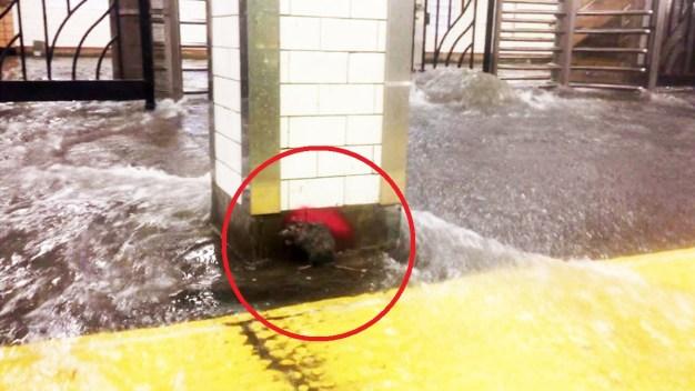 Rata lucha por sobrevivir a inundación en el subway