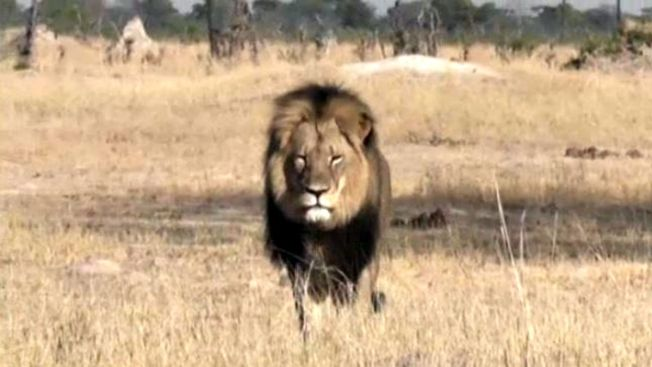 El negocio legal de cazar leones en extinción