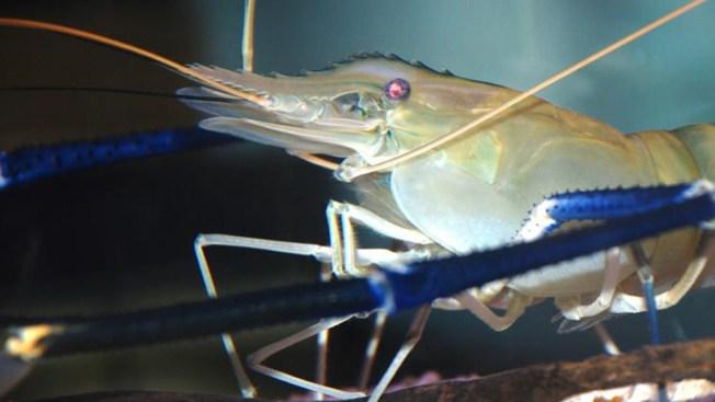 Se fugan cientos de miles de ejemplares de especies invasoras