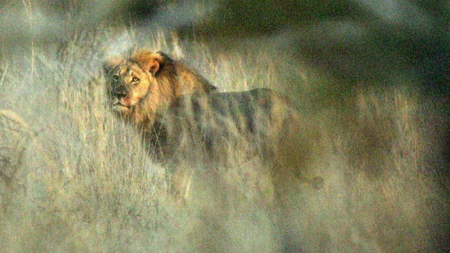 Aseguran que el león Jericho está vivo