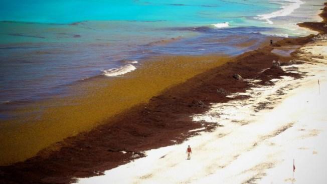 Sargazo letal: mueren 72 especies en costas