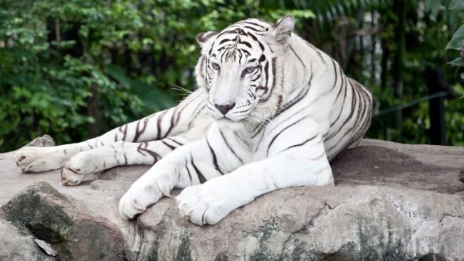 Tigre blanco se fuga de zoo y mata a hombre