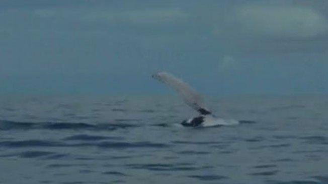 Ballenas jorobadas dan un espectáculo