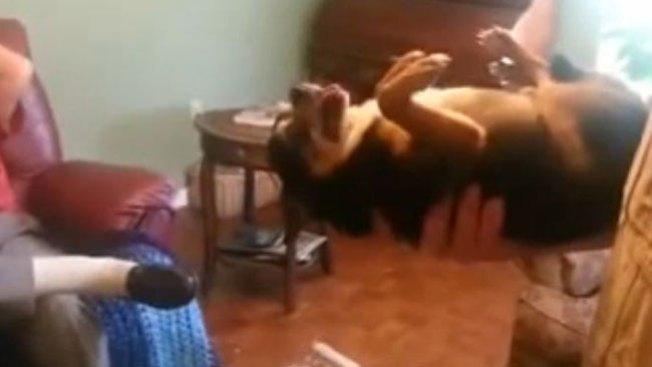 Perro se hace el muerto si le caes mal