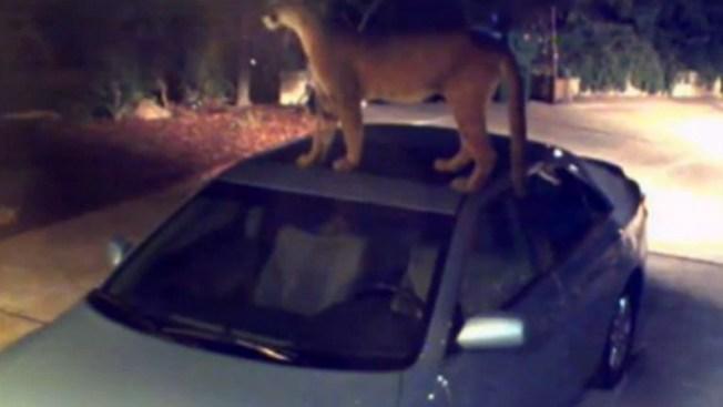 Puma despierta terror en vecinos