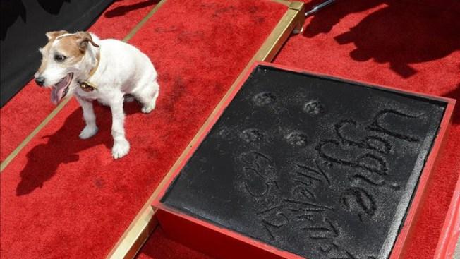 Muere Uggie, famoso perrito de Hollywood